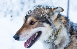 The Husky. Portrait of a beautiful looking Husky Royalty Free Stock Image