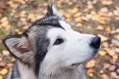 Husky Portrait Stock Images