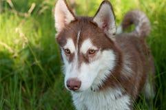 Husky. Portrait of brown siberian husky dog stock photography