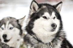Husky portrait Stock Photos