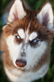 Husky portrait Royalty Free Stock Photo
