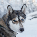 Husky portrait Stock Photography