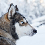 Husky portrait Stock Images
