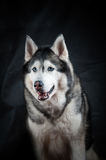 Husky portrait in studio Royalty Free Stock Photos