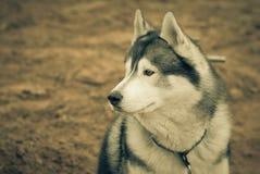 Husky portrait. Tinted Stock Photo