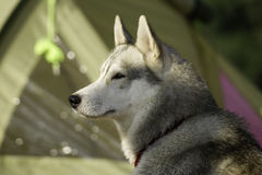 Husky portrait tourist Royalty Free Stock Image