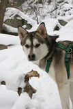 husky portrait in winter Stock Images
