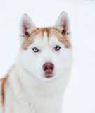 Husky portrait Stock Photography