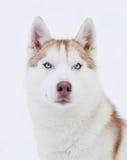 Husky portrait Royalty Free Stock Photography