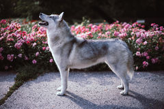 Husky posture Stock Images