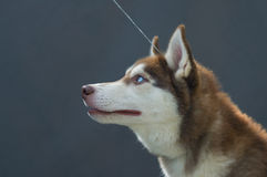 Husky profile Royalty Free Stock Photos