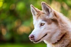 Husky profile portraiture. Stock Photos