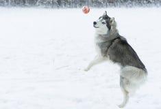 Husky psa bawić się Zdjęcie Stock