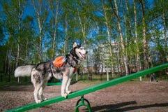 Husky psa stojaki na Teeter Totter huśtawki, wymagającego i bardzo śmiesznego wyposażeniu dla psów, Stażowy psa parka wyposażenie zdjęcia stock