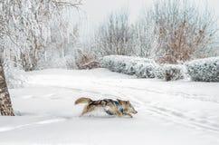 Husky psi bieg przez głębokiego śniegu zdjęcie royalty free