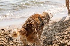 Husky psi chwianie z wody Obrazy Royalty Free