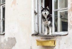 Husky psi i stary okno Obrazy Royalty Free