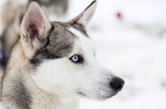Husky psi portret Zdjęcie Stock