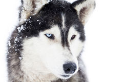 Husky psi portret Obraz Stock