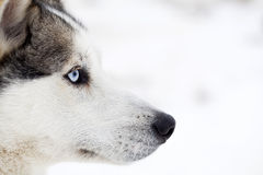Husky psi portret Zdjęcia Stock
