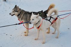 Husky psi sanie fotografia royalty free