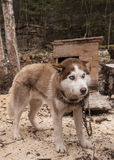 Husky psi siberian zwierzę Fotografia Royalty Free