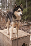 Husky psi siberian zwierzę Zdjęcia Royalty Free