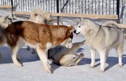husky Psy bawić się Obraz Royalty Free