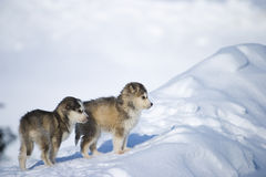 Husky puppies Stock Images