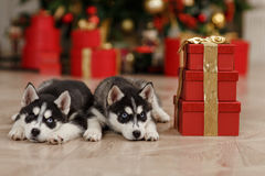 Free Husky Puppies Black And White Christmas Trees Are In Royalty Free Stock Image - 91689816