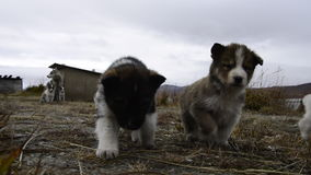 Husky puppies Greenland hill.