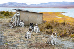 Husky puppies Greenland hill. Stock Image