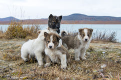 Husky puppies Greenland hill. Stock Photos