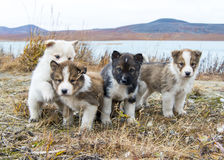 Husky puppies Greenland hill. Stock Photography