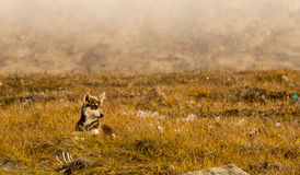 Husky puppies Greenland hill. Royalty Free Stock Photo