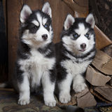 Husky puppies indoors Stock Images