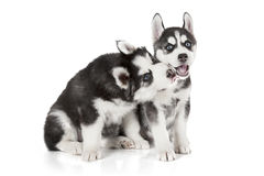 Husky puppies isolated on white. Two months old Husky puppies dog isolated on white background Royalty Free Stock Images