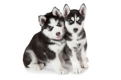 Husky puppies over white Stock Image