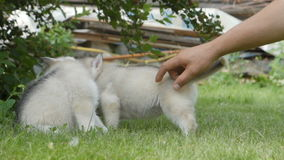 Husky puppies play on a grass stock footage