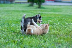 Husky puppies playing outside, black and brown puppy met. No owner yet stock images