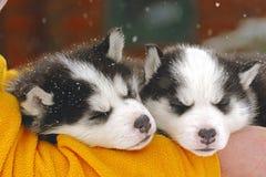 Husky puppies sleeping. Siberian Husky, two puppies sleeping in handlers arm Royalty Free Stock Images