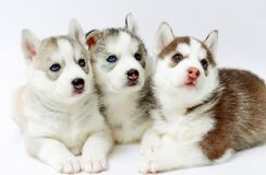 Husky puppies Royalty Free Stock Photography