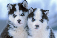 Two Siberian Husky Puppies. Six weeks old, together,portrait Stock Photography