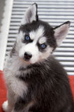 Husky puppy. Husky is a kind of precious puppy with blue eyes and vertical ears,watching seriously Royalty Free Stock Photo
