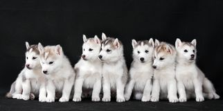 Free Husky Puppy Royalty Free Stock Images - 19232229