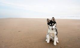 Husky puppy 2 Royalty Free Stock Image