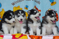 Husky puppy. Four husky puppy brothers lookling  at something curiously Royalty Free Stock Image