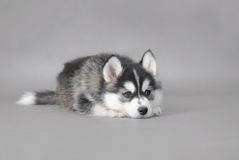 Husky puppy Stock Photo