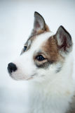 Husky puppy Royalty Free Stock Photos