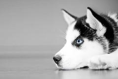 Husky Puppy Stock Image